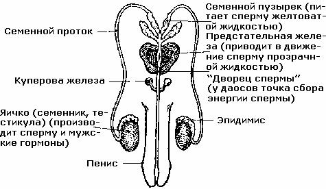 uskorit-virabotku-spermi