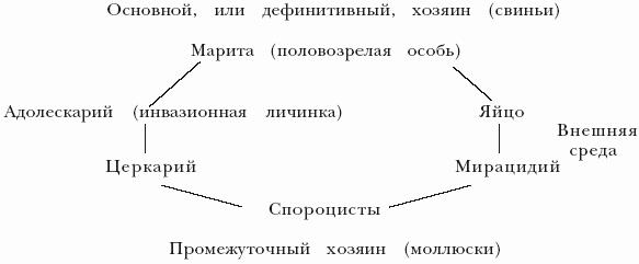 Жизненный цикл эхинококка схема фото 628
