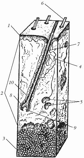 Схема строения кожи (по