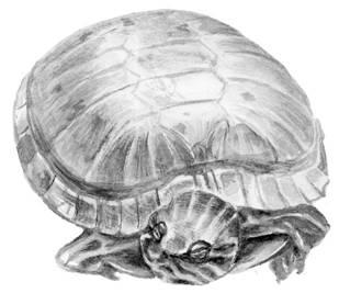 Чего едят красноухие черепахи в домашних условиях