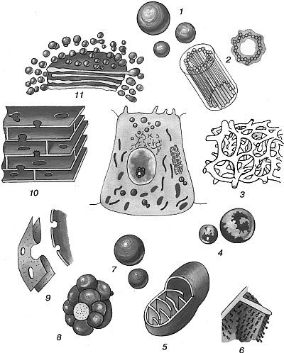 Общее строение эукариотической