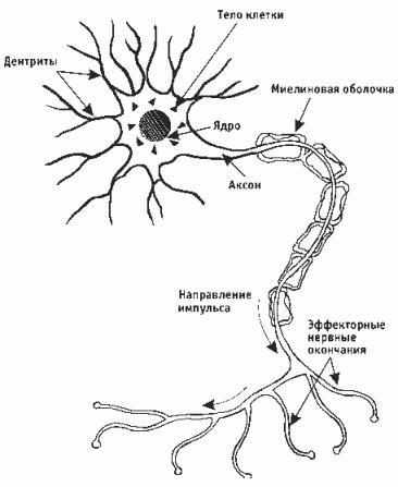 Нервная клетка со всеми