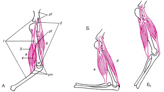 Мимические мышцы расположены
