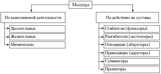 Схема 3. Систематизация мышц