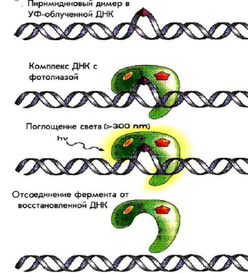 Схема фотореактивации