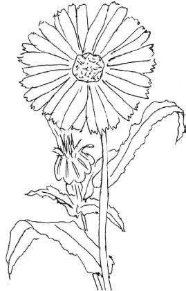 Рисунок карандашом растение цикорий