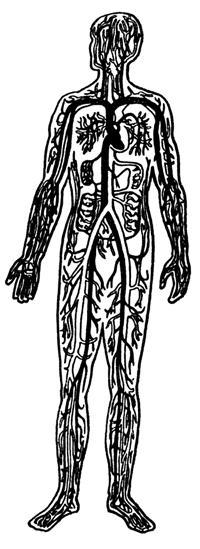 Кровеносная система человека картинки карандашом